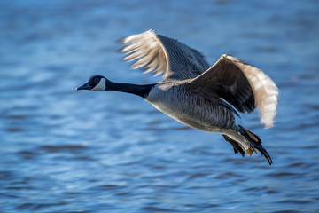 Canada Goose - Branta canadensis, flying over a river, backlit by the sun shining on it's motion blurred wing tips.