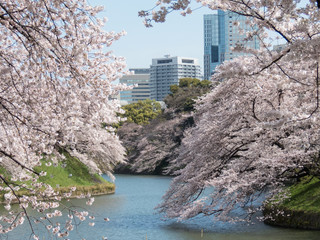 桜の名所「千鳥ヶ淵」