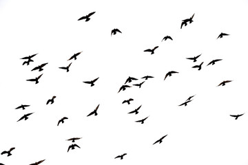 Free. Flight of birds in the wild. Silhouette.  Freedom