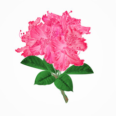 Flowers pink rhododendrons twig Mountain shrub vector illustration