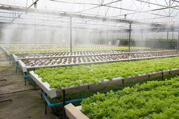 Greenhouse of organic lettuce salad watering system in action