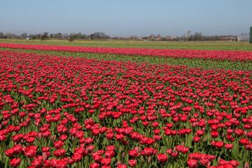 Tulpenfeld, Tulpen, Feld, Amsterdam