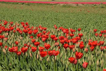Tulpenfeld, Tulpen Feld, Tulpen, Amsterdam