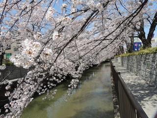 桜並木の遊歩道