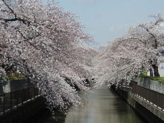 満開の桜と遊歩道