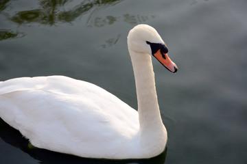 White swan on a dark lake background