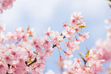 soft blooming cherry bloosom