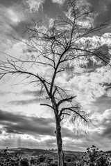 The dry branch of tree over the sky. Monochrome
