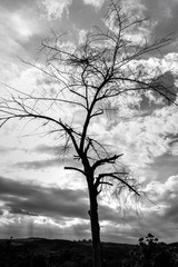 The dry branch of tree over the sky.Black and white