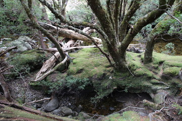 Wald auf Tasmanien