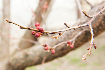 Blossoming of cherry flowers bud in spring time with green leaves, Branch of apricot before flowering in spring
