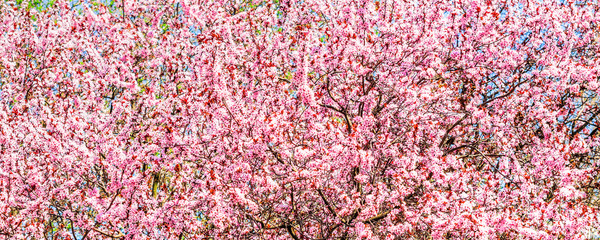 trees pink blossoming, spring time