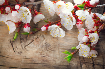 Wall Mural - Spring blossom on wooden background. Blooming apricot flowers