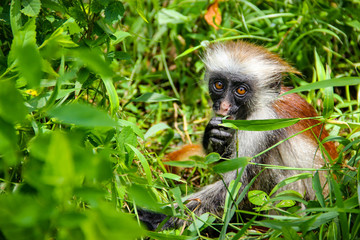 Monkey red colobus Kirk, endemic species to the island of Zanzibar