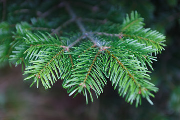 Branch of fir tree