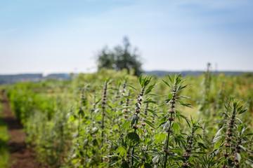 motherwort plantation