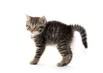 Scared kitten with arched back