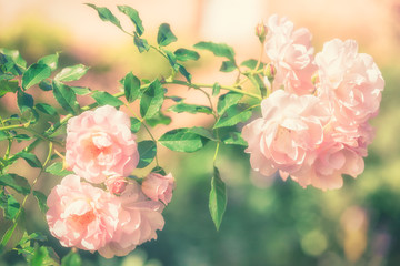 Flowers of pink rose growing in nature in soft style