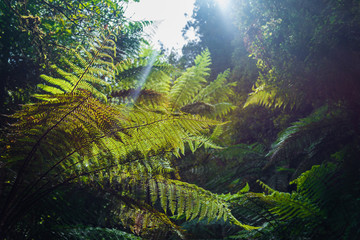 Native New Zealand Silver Tree Ferns, moving in the wind in a sub-tropical rain-forest. The Silver Fern is a national symbol of New Zealand.