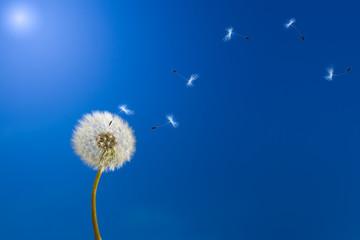 Poster Paardenbloem Dandelion in sunlight releasing seeds.
