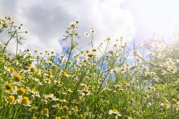 Medical chamomile look upward with sunny hotspot