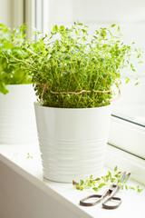 fresh thyme herb in white pot