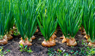 close-up of onion plantation in a hothouse - selective focus Wall mural