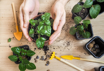 Woman's hands holding young plant in spring in pots