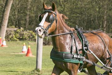 Bruin paard in draf