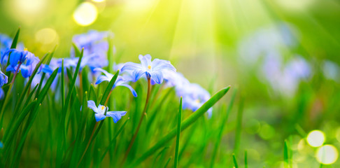 Fotoväggar - Snowdrop spring flowers. Beautiful blue spring easter holiday background