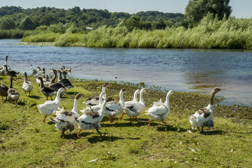 domestic geese on the shore