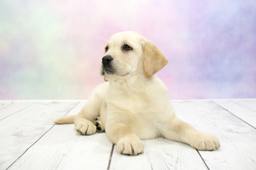 Labrador Retriever with colorful springtime background