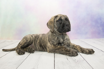English Mastiff puppy on colorful spring background