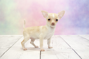 Chihuahua puppy on colorful spring background
