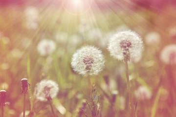 dandelion field of green grass