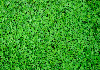 clover field