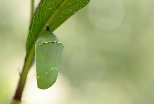 Monarch butterfly (Dannaus plexippus) chrysalis, beautiful cocoon