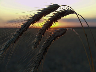 ears of wheat at sunset