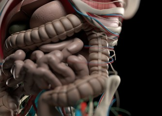 Human anatomy body. Skeletal, organs, vascular, lymph and nervous systems. Proffesional lighting and rendering. 3d illustration