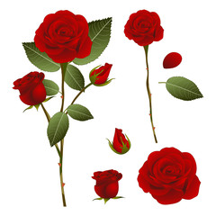 Beautiful Red Rose - Rosa. Valentine Day. Vector Illustration. isolated on White Background