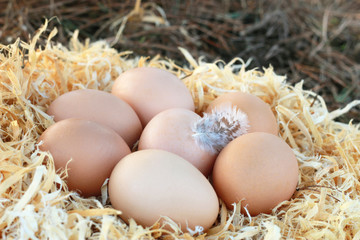 Chicken eggs with a feather in the nest