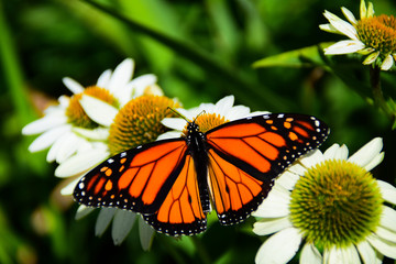 Monarch butterfly feeding on white cone flowers