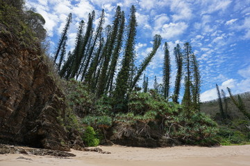 New Caledonia pines and pandanus on a beach shore in Bourail, Grande Terre island, south Pacific