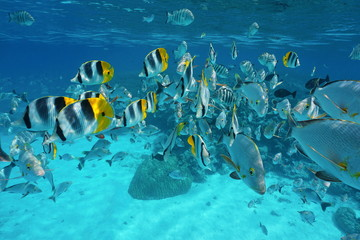 Shoal of fish (butterflyfish with snapper and damselfish) underwater in the lagoon of Rangiroa, French Polynesia, Tuamotu, Pacific ocean