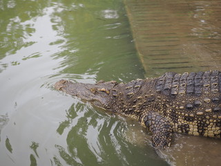 crocodile swims in the water at the crocodile farm