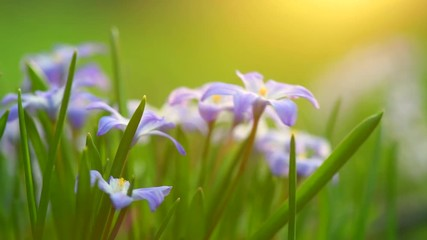 Fotoväggar - Snowdrop spring flowers. Beautiful spring nature background with blue blossoming flowers closeup. 4K UHD video 3840X2160 video
