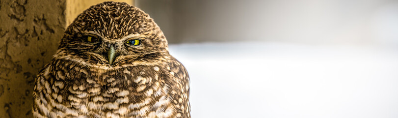 Burrowing Owl (Banner 2)