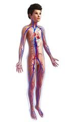 Boy's cardiovascular system, illustration