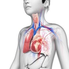 Boy's chest anatomy, illustration