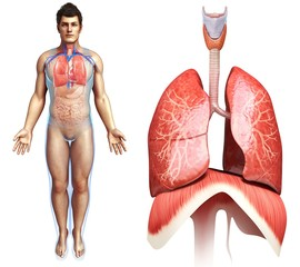 Lung and diaphragm anatomy, illustration
